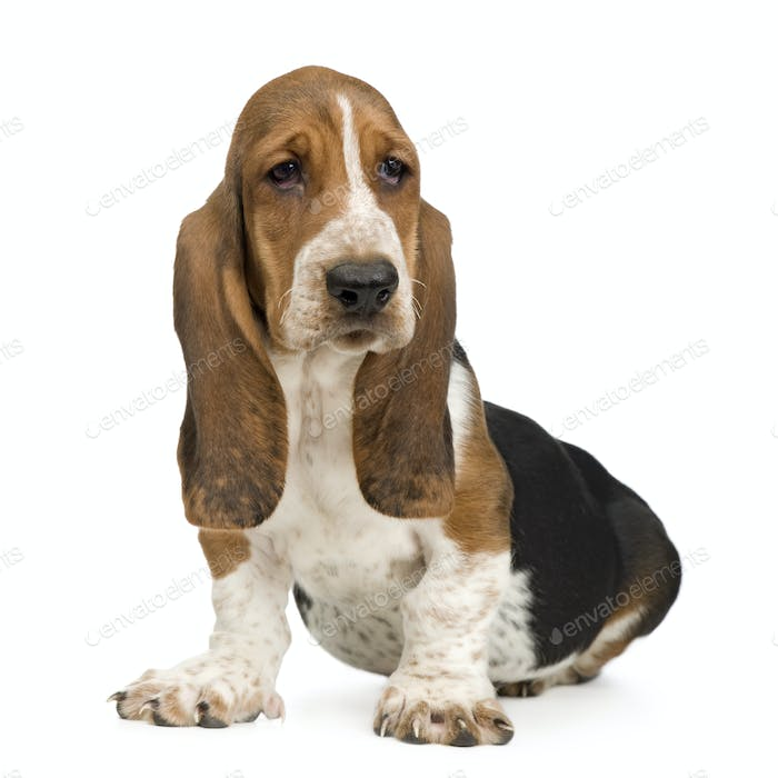 Thumbnail for Basset Hound (3 months) - hush puppy