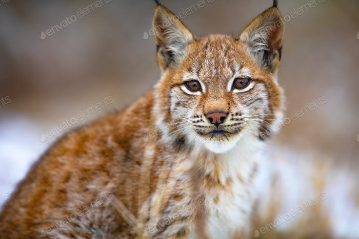 Beautiful eurasian lynx sitting in the forest at early winter