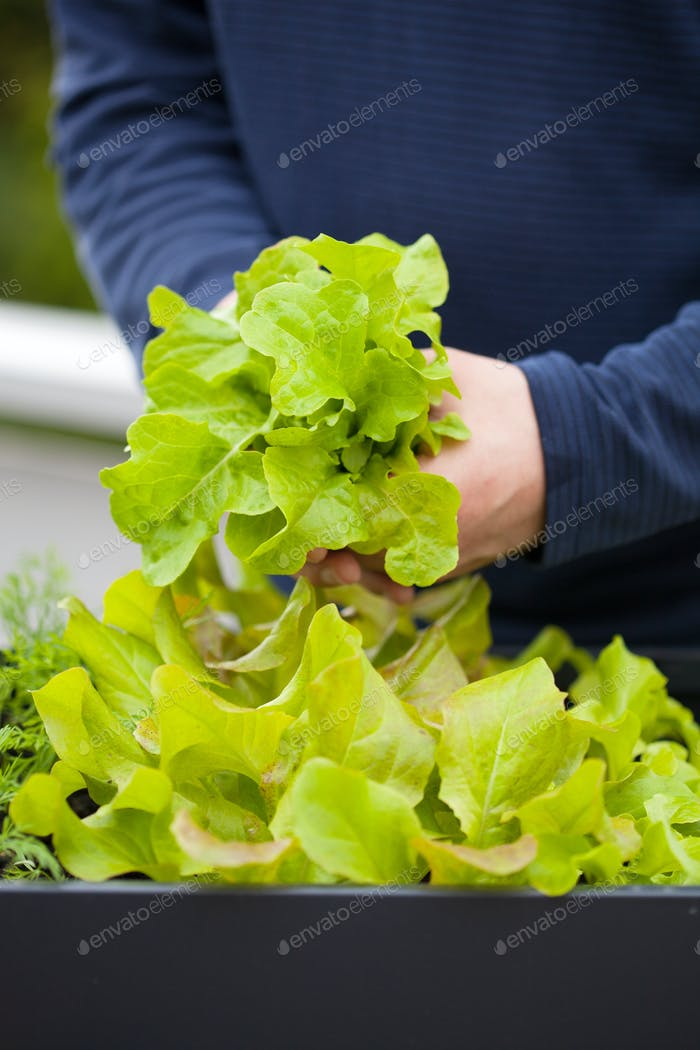 gardener picking salad from vegetable container garden on balcon