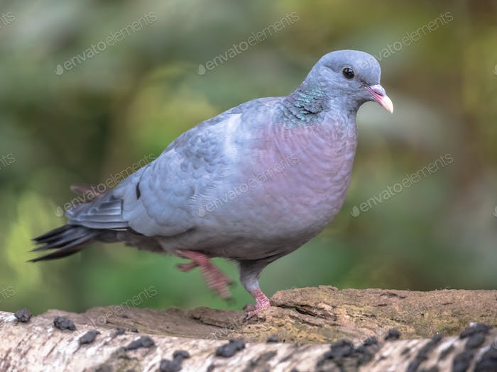 Stock dove in forest