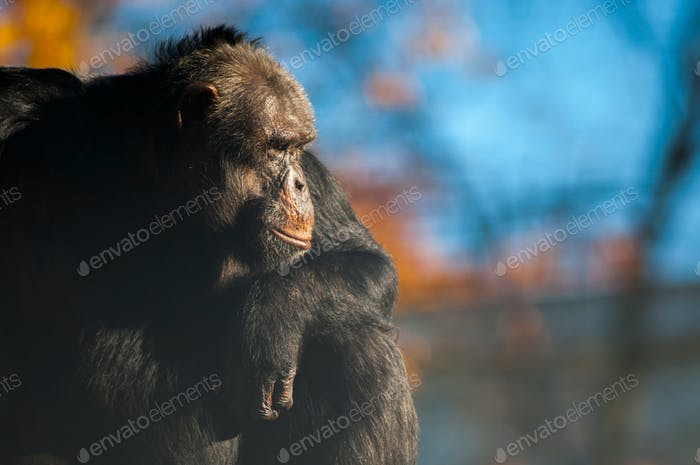 Chimpanzee on sunset