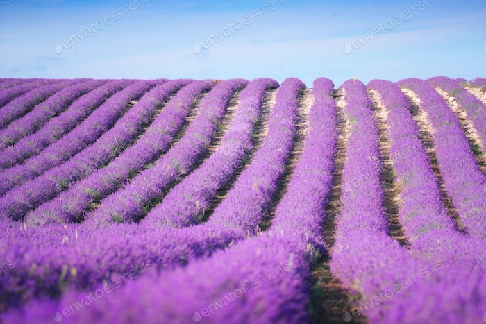 Rows of lavender meadow. Nature and agricultural scene.