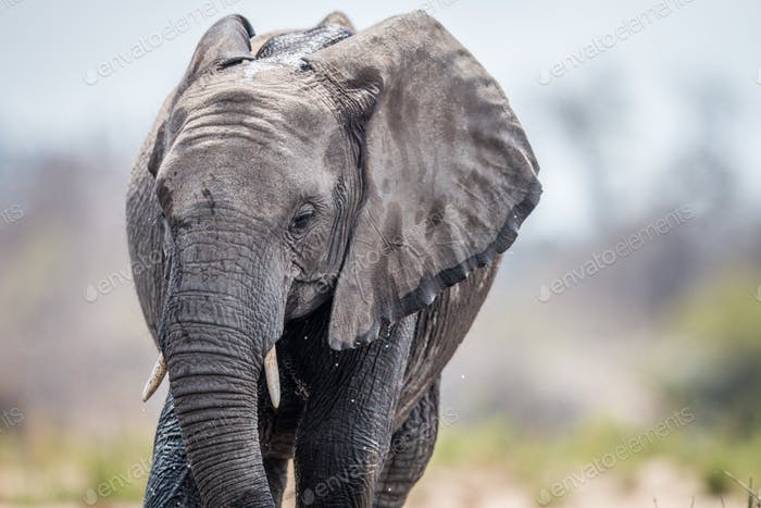 An Elephant drinking.