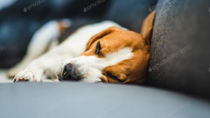 Funny Beagle dog lying on the sofa. Canine background