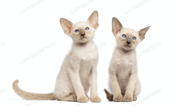 Two Oriental Shorthair kittens sitting and looking away against white background