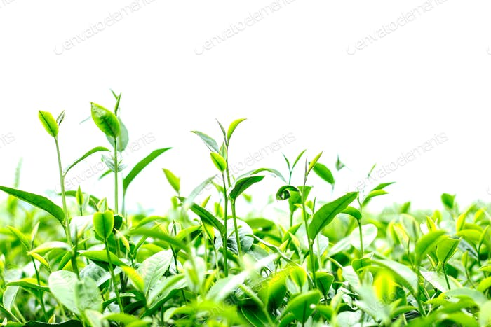 Growing tea with white background.