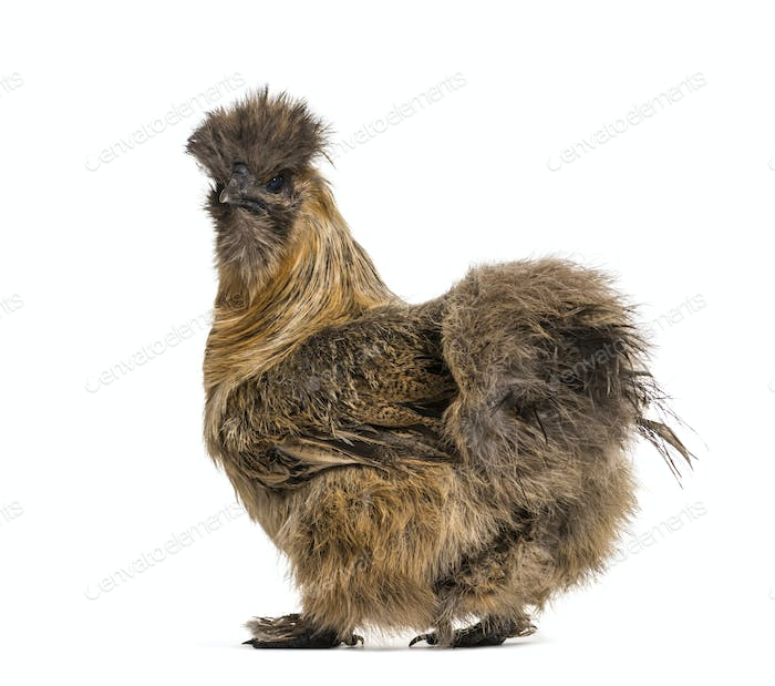 Silkie, sometimes spelled Silky, breed of chicken known for it's fluffy plumage