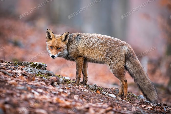 Sad red fox with puffy coat being on the walk in the forest full of dry leaves