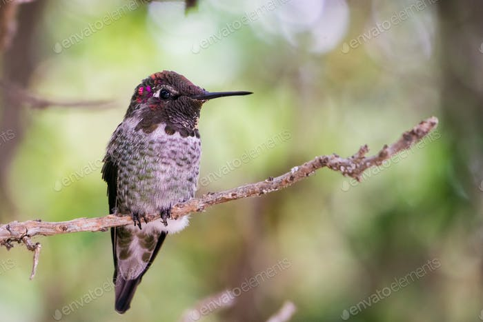 Male Anna's Hummingbird sitting on a branch, San Francisco bay area, California