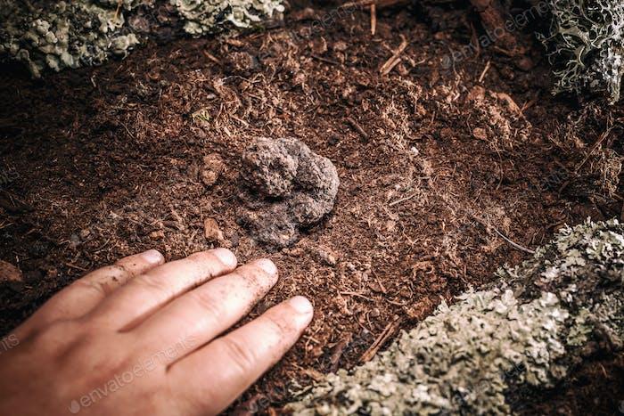 Black truffles tuber