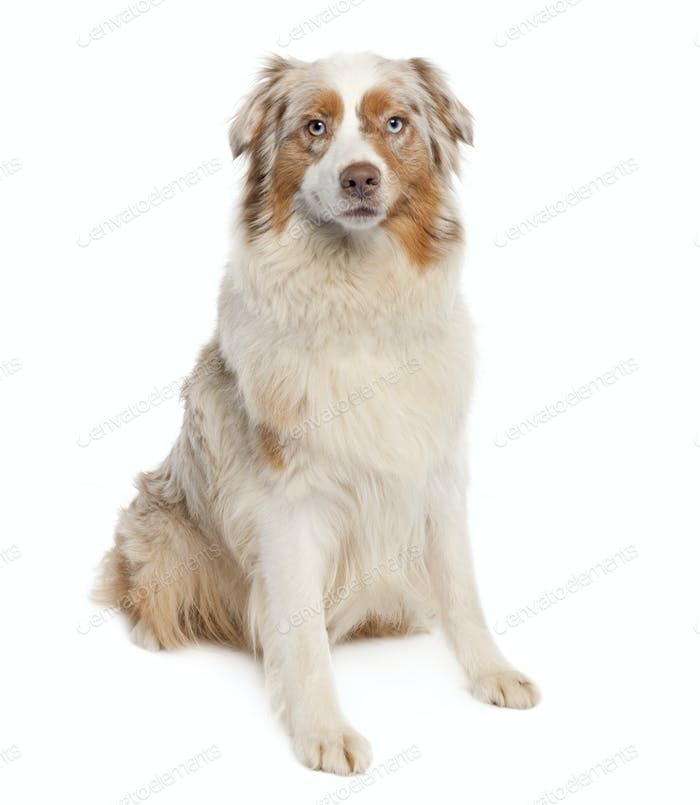 australian shepherd (3 years old)
