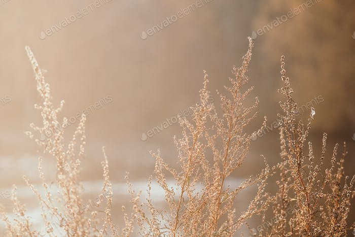 Close up shot of dried sagebrush against sunlight. Nature autumn background.