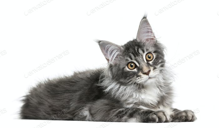 Maine Coon kittenlying in front of a white background