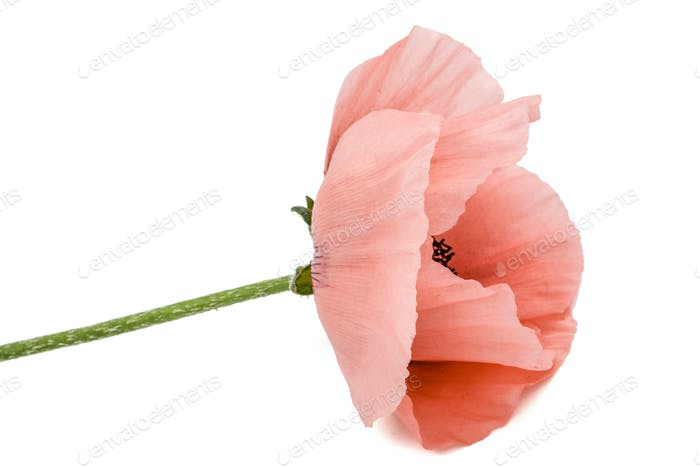 Flower of scarlet poppy, lat. Papaver, isolated on white backgro