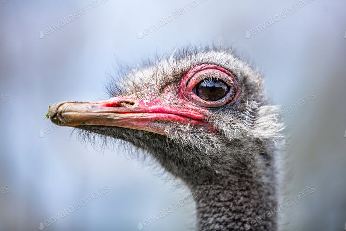 Ostrich head close-up portrait