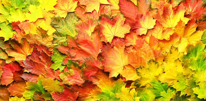 Red, orange, yellow and green maple leaves background. Golden autumn concept. Sunny day, warm