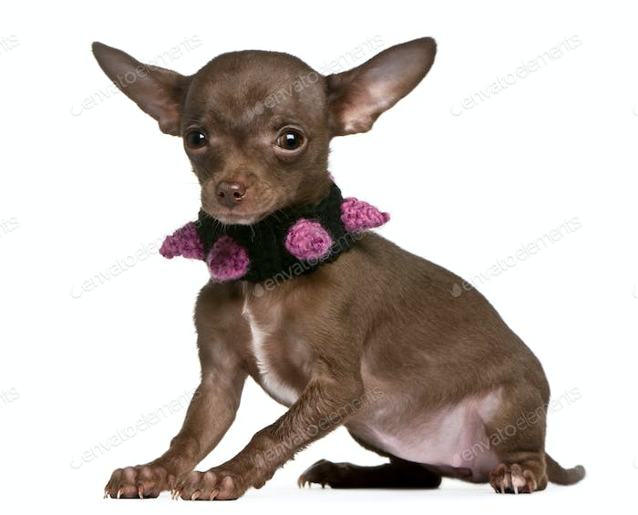 Chihuahua wearing collar, 6 months old, sitting in front of white background