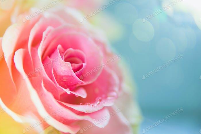Rosa Rose Blume Makro mit Flare