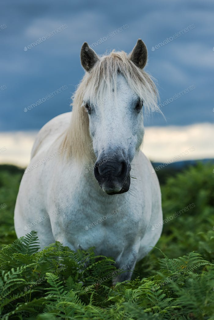 wild white horse looking at camera