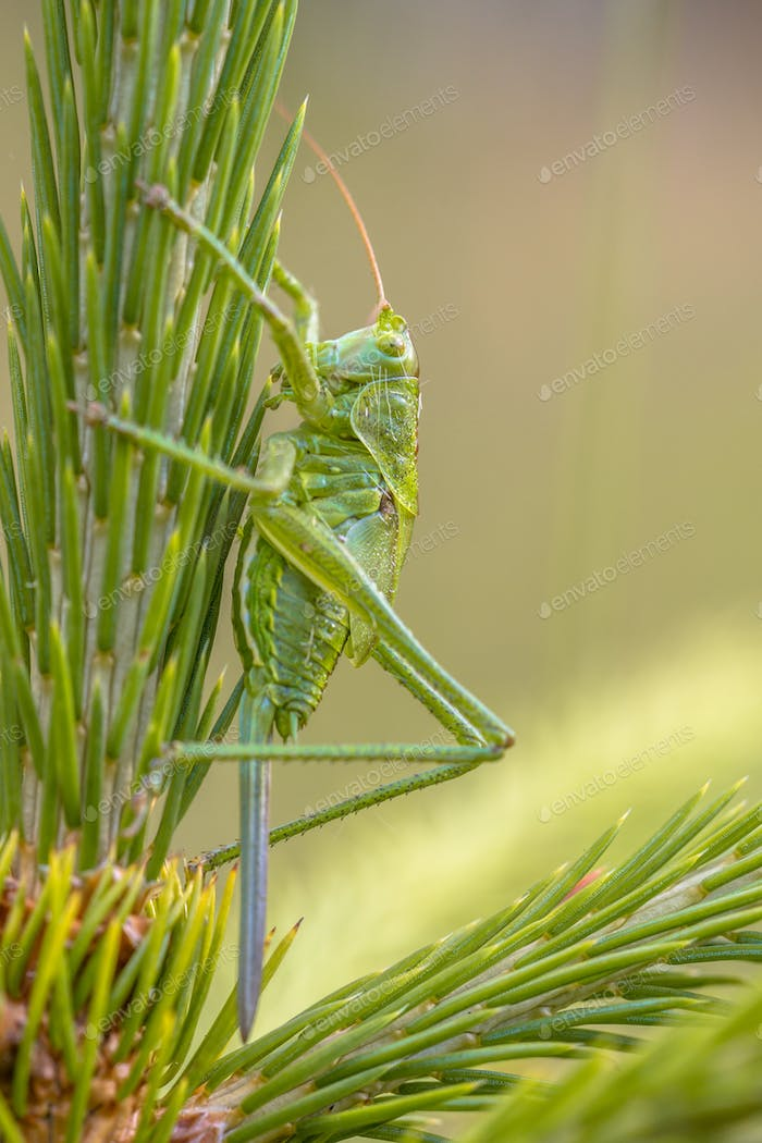 Female Nymph of Great Green Bush Cricket