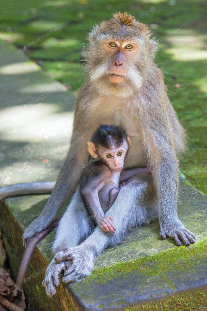 Long-tailed Macaque With Baby