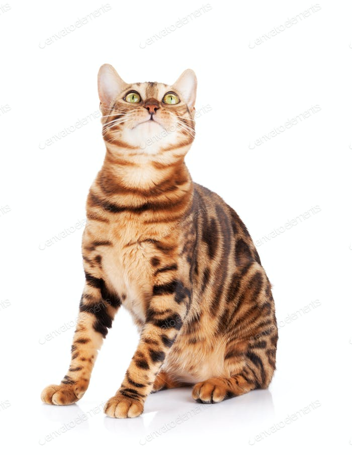 Bengalkatze nach oben