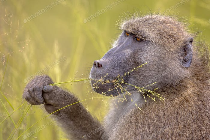 Chacma baboon feeding on grass seeds
