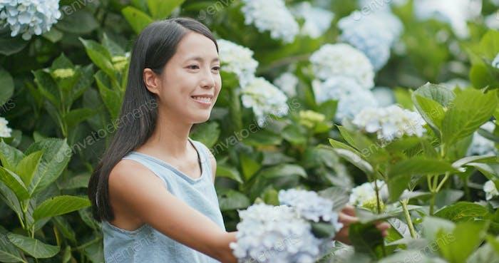 Woman looking Hydrangea flower in the garden