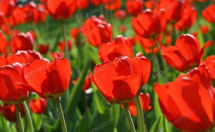 beautiful red tulips