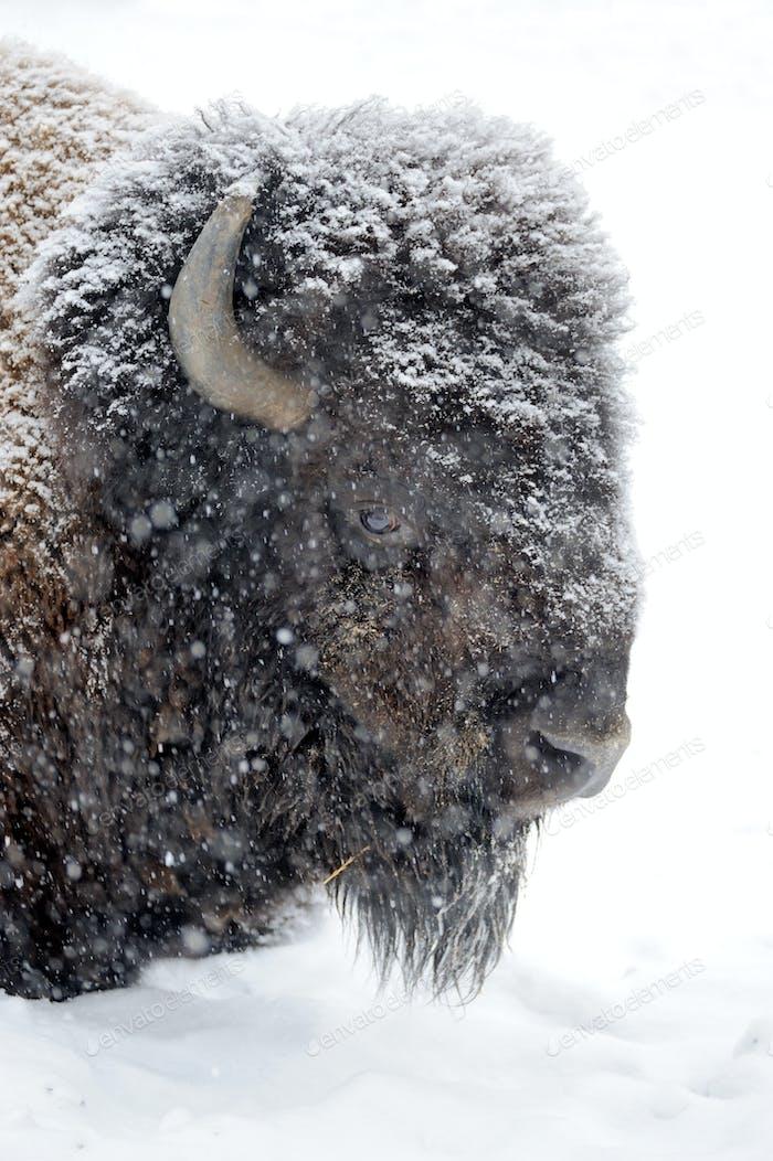 Bison Porträt im Winter