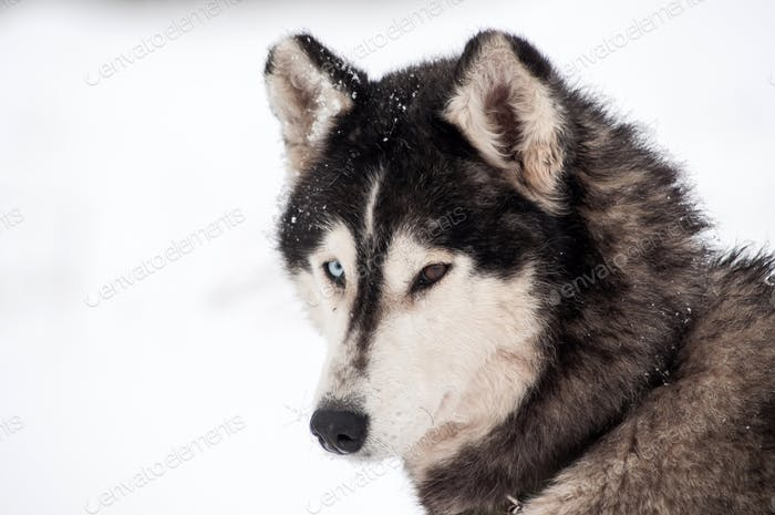 Husky dog portrait in the winter snow