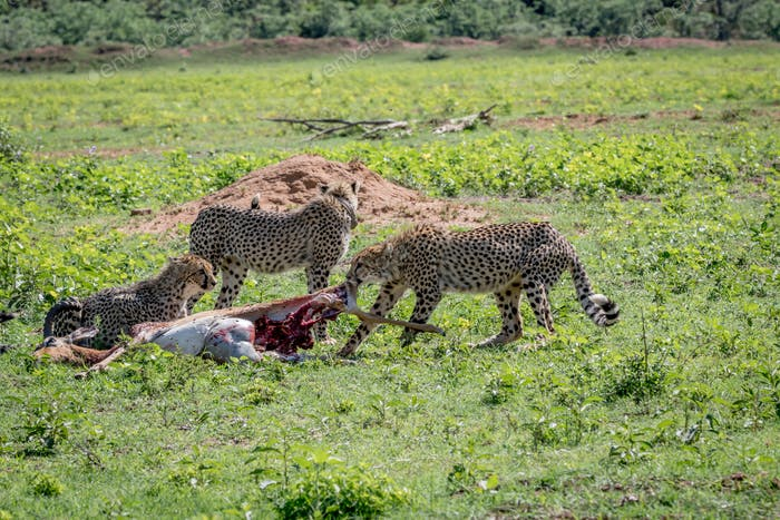 Cheetahs feeding on an Impala kill.
