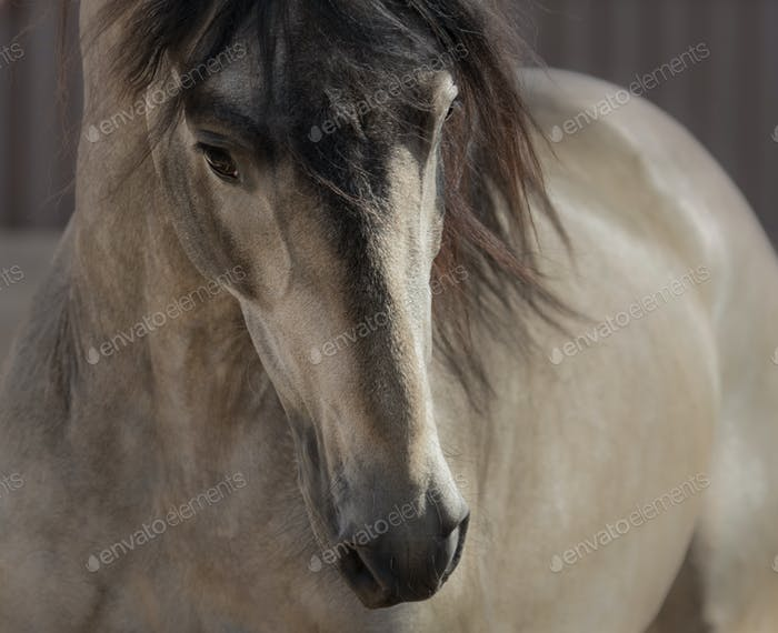 Portrait of buckskin Andalusian horse.
