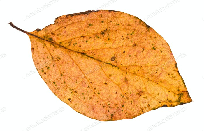 fallen leaf of poplar tree isolated on white