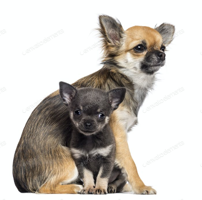 Chihuahua puppies, 9 months old and 7 weeks old, sitting looking away