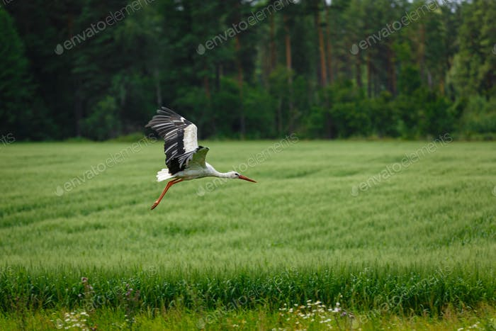 Stork flying on grass field