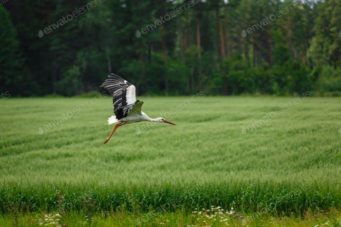 Storch fliegen auf Grasfeld