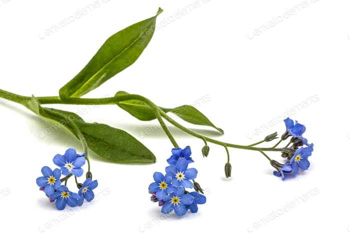 Light blue flowers of Forget-me-not (Myosotis arvensis), isolate