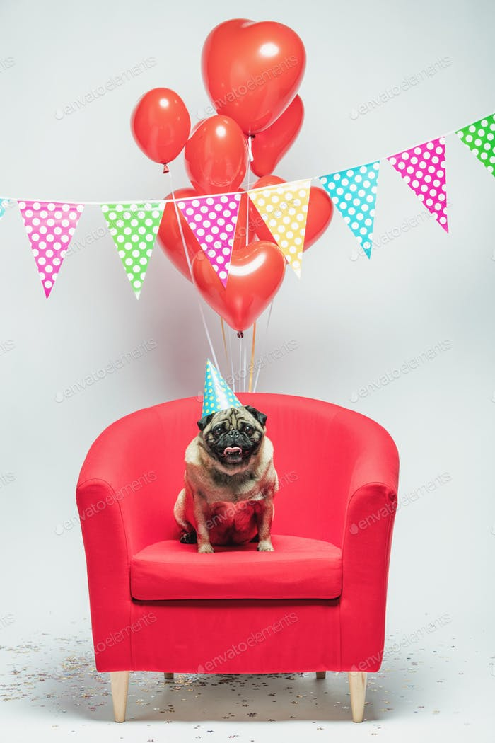 Birthday pug dog on a festive background.