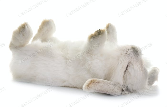 aries rabbit in studio