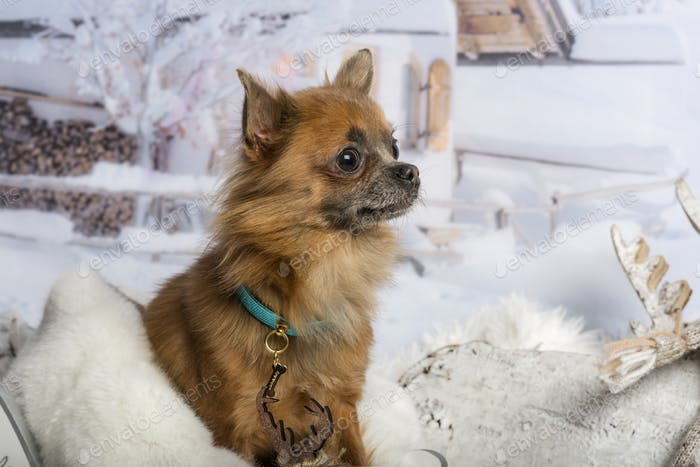 Chihuahua sitting in winter scene, looking away