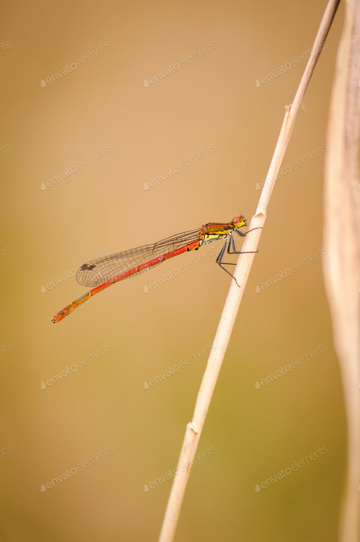 Beautiful detail of Large Red Damselfly