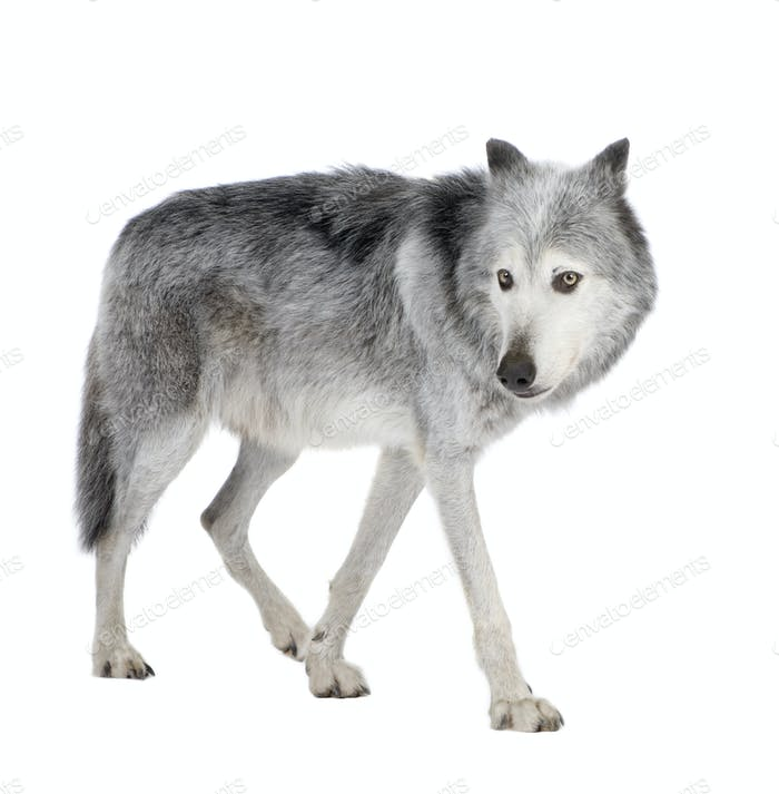 Mackenzie Valley Wolf (8 years) - Canis lupus occidentalis