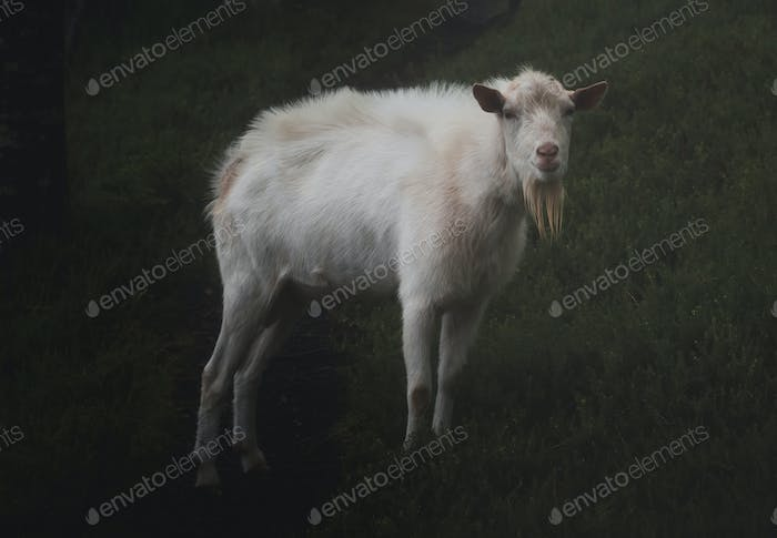 Goat in the dark and gloomy forest