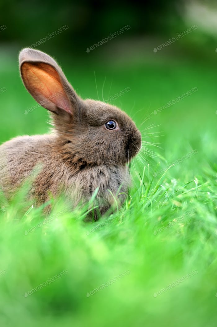 Little rabbit in grass