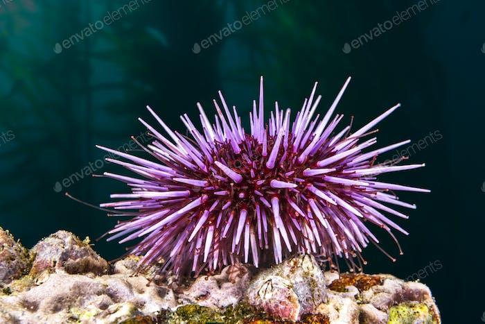 Purple sea urchin