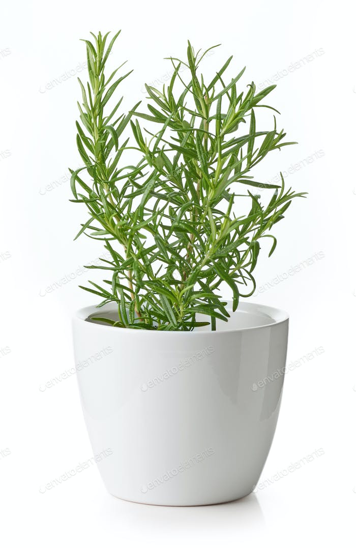 rosemary plant in flower pot