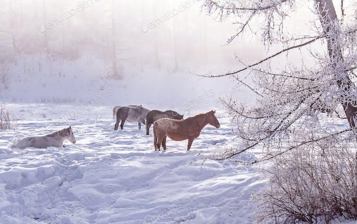Pferde bleiben und entspannen im Winter in den verschneiten Wäldern