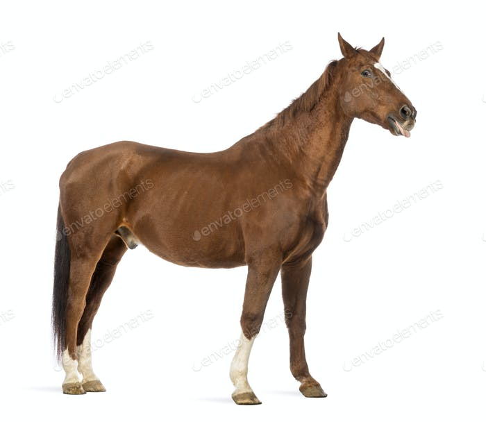 Side view of a Horse sticking its tongue out in front of white background