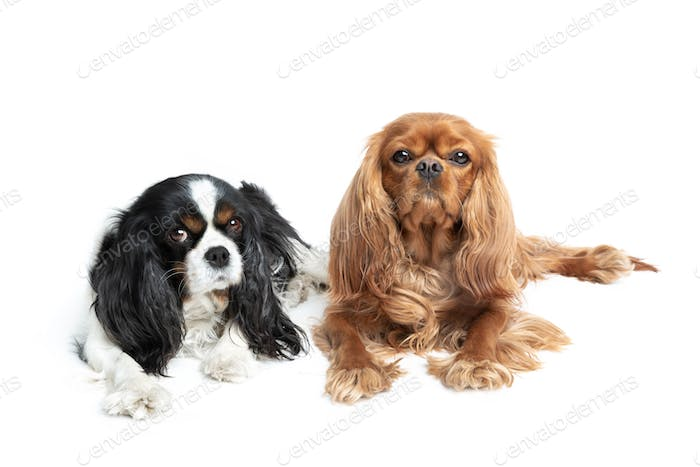 Portait of two relaxed cavalier spaniels